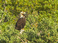 Spanish Eagle - Monfrague - Spain 3882 (15340566397).jpg