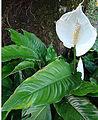 Spathiphyllum montanum (9163277188).jpg