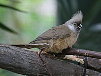 Speckled Mousebird RWD4.jpg