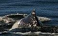 Sperm Whale. New Zealand (11348448604).jpg