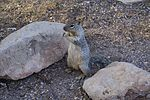 Spermophilus variegatus Grand Canyon 1.JPG
