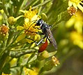 Sphecidae. Podalonia tidei (33165222660).jpg