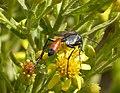 Sphecidae. Podalonia tidei (33391979392).jpg