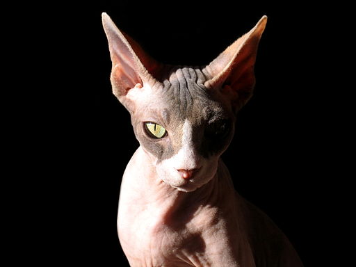 Sphynx cat, lit from one side