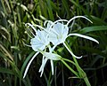 Spiderlily (Hymenocallis cf. occidentalis) (38560842461).jpg