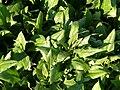 Spinacia oleracea (Breedblad scherpzaad) in Italy.jpg