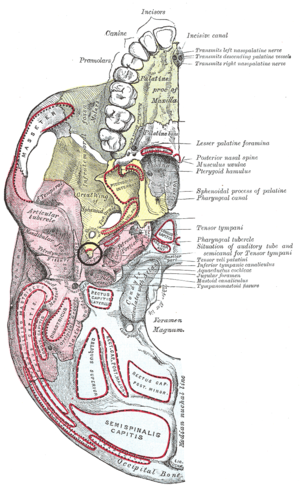 Spine of sphenoid bone - Wikipedia, the free encyclopedia