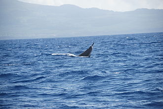 Sowerby's beaked whale - A whale breaching