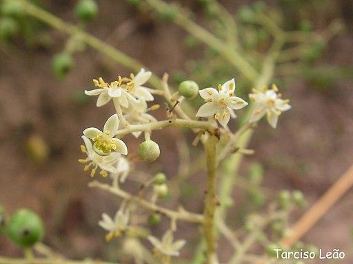 Flores de jobo, ubos o cajá (Spondias mombin)