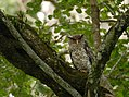 Spot-bellied eagle owl DSC2452.jpg