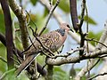 Spotted Dove (Spilopelia chinensis) (45695290305).jpg