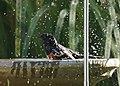 Spotted Towhee taking a bath (9097971272).jpg