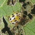 Spotted beetle (4711079379).jpg