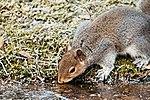 Squirrel - RSPB Sandy (32445120136).jpg