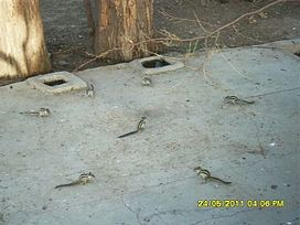 Squirrels in a conference---!-This Picture was taken in falna district Rajasthan India 2014-04-24 15-30.jpeg