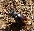 Stag Beetle. Lucanus cervus. Lucanidae - Flickr - gailhampshire.jpg