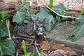 Stag Beetle in South West England.jpg