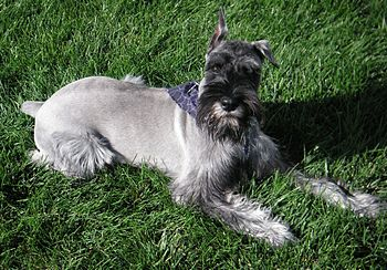English: Standard Schnauzer at 9 months