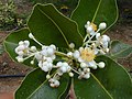 Starr-010309-0547-Calophyllum inophyllum-flowers and leaves-Kalepolepo Kihei-Maui (24164282039).jpg