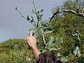 Starr-021123-0013-Nicotiana glauca-Manduca blackburni larva-Puu o Kali-Maui (24553464405).jpg