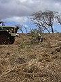 Starr-030521-0051-Myoporum sandwicense-Forest weeding-Lua Makika-Kahoolawe (24608132706).jpg