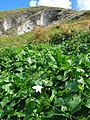 Starr-050225-4663-Coccinia grandis-habit-Manana-Oahu (24111274254).jpg