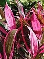 Starr-080117-2208-Cordyline fruticosa-habit-Home Depot Nursery Kahului-Maui (24902680325).jpg