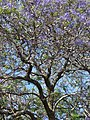 Starr-090513-7515-Jacaranda mimosifolia-flowering habit-King Kekaulike School Pukalani-Maui (24836687032).jpg