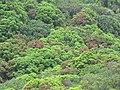 Starr-090617-0961-Mangifera indica-habit-Kakipi Gulch Haiku-Maui (24338357193).jpg