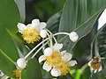 Starr-090806-3893-Calophyllum inophyllum-flowers-Maui Arts and Cultural Center Kahului-Maui (24603916519).jpg