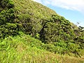 Starr-091112-9521-Clidemia hirta-habit-West Maui-Maui (24694094160).jpg