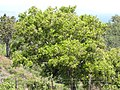 Starr-100601-6560-Syzygium cumini-habit-Kokomo-Maui (24921163842).jpg