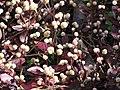 Starr-110307-1912-Alternanthera brasiliana-leaves and flowers-Kula Botanical Garden-Maui (24709578019).jpg