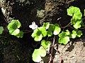 Starr-110307-1947-Cymbalaria muralis-flowering habit-Kula Botanical Garden-Maui (25077295005).jpg