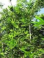 Starr-110330-4013-Gigantochloa atter-habit-Garden of Eden Keanae-Maui (24713429579).jpg