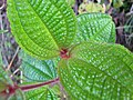 Starr-110330-4319-Clidemia hirta-leaves-Hana Hwy Oopuola-Maui (24450896154).jpg