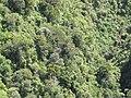Starr-111012-0963-Kadua affinis-habitat-Kahana-Maui (25092769386).jpg