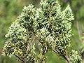 Starr-111012-1059-Juniperus bermudiana-needles-Kahana-Maui (24492460713).jpg