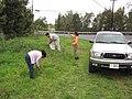 Starr-120329-4040-Delairea odorata-habit with Mach Kim and Juliana collecting for biocontrol project with DOA truck-Kula-Maui (25044978361).jpg