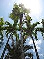 Starr-120522-6407-Coccothrinax sp-habit-Iao Tropical Gardens of Maui-Maui (24775970749).jpg