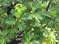 Starr-120606-6792-Artocarpus altilis-fruit and leaves-Kahanu Garden NTBG Hana-Maui (25144347905).jpg