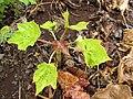 Starr-120620-7535-Jatropha curcas-seedling in duff-Kula Agriculture Park-Maui (25119509116).jpg