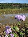 Starr-130322-3768-Ageratum houstonianum-flowers-Hanalei NWR-Kauai (25183182796).jpg