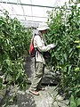 Starr-150326-1654-Solanum lycopersicum-fruiting with Forest-Hydroponics Greenhouse Sand Island-Midway Atoll (24636910684).jpg