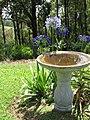 Starr-170513-8631-Agapanthus praecox subsp orientalis-flowering habit with cosmos and bird bath-Hawea Pl Olinda-Maui (34419220773).jpg