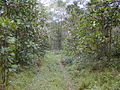 Starr 020501-0058 Cinchona pubescens.jpg