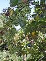 Starr 020518-0012 Cinchona pubescens.jpg