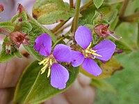 Starr 020803-0136 Tibouchina herbacea