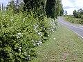 Starr 030418-0067 Plumbago auriculata.jpg