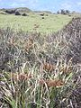 Starr 040423-0121 Cyperus javanicus.jpg